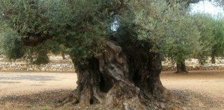 olivos milenarios segorbe