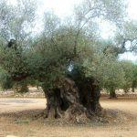 olivos milenarios de segorbe