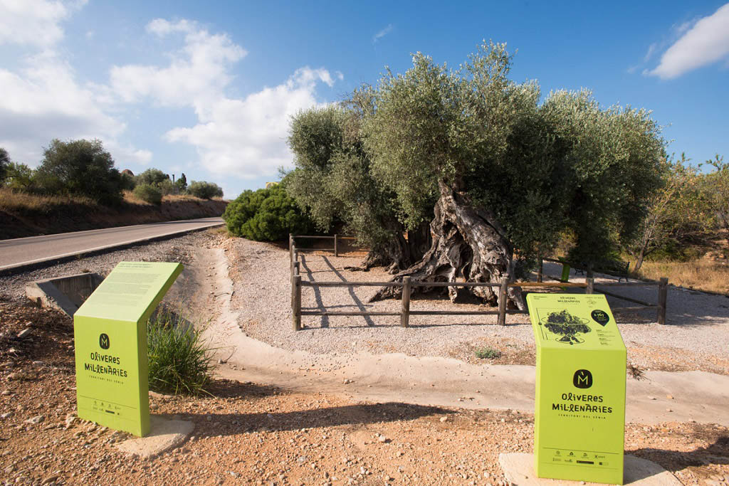 La Diputación favorece la conservación de los 198 arboles monumentales de la provincia como un activo de los municipios
